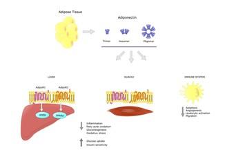 principali azioni dell'adiponectina, ormone secreto dal tessuto adiposo
