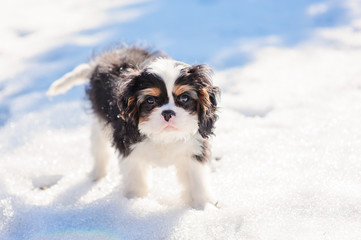 cute fluffy puppy on the walk in snowy winter garden