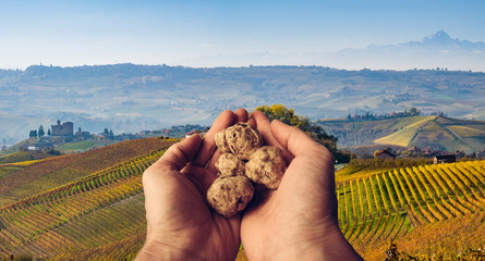 Hands holdin white truffle form Alba in the vineyards