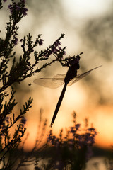 Moorland hawker, Aeshna juncea resting on heather, sunset in the background