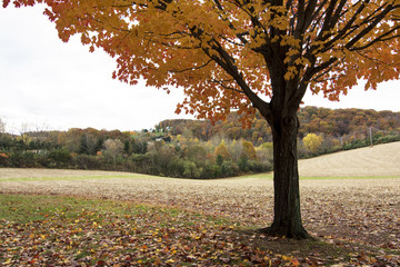 Maple Tree with farm meadow background in autumn