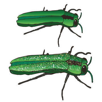 The Emerald Ash Borer: Eating and Bringing Death to Your Mountain Ash Trees Since the 90s. These Insects Eat the Leaves, Burrow into the Bark, and Critically Maim and Destroy Your Poor Ash Trees.