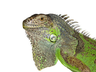 Iguana on a white background