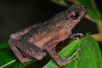 The common mist frog Litoria rheocola is native to the flowing streams