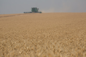 Ripe and Ready to Harvest Wheat / Beyond the ripe wheat is a combine threshing in the field