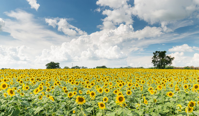 Sunflower field on cloud blue sky in Lop Buri Thailand