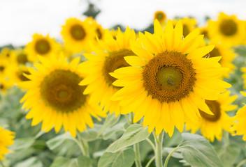 sunflower in Lop Buri Thailand