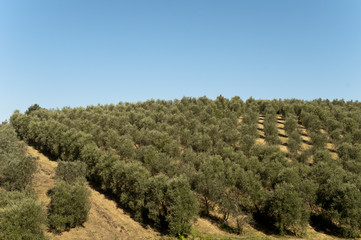 Olive Oil Farm view of trees in Vinci,italy