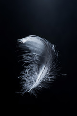white swan feather isolated on black background