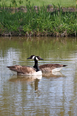 Two Canadian geese on the river