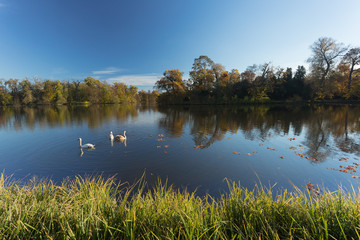 Swans on a pond. autumn Landscape