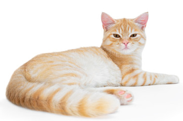 Young, carroty cat isolated on a white background