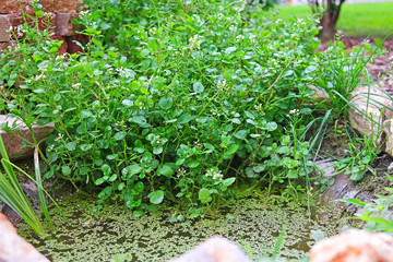 Watercress in the garden pond