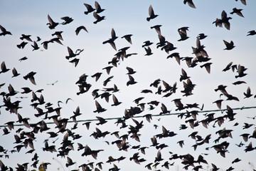 starlings flock