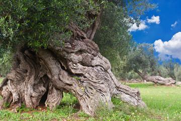 secular olive tree