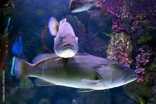 """""""Tabarka, grouper (Epinephalus guaza). Mediterranean Sea"""" Fotos de archivo e imágenes libres de derechos en Fotolia.com"""