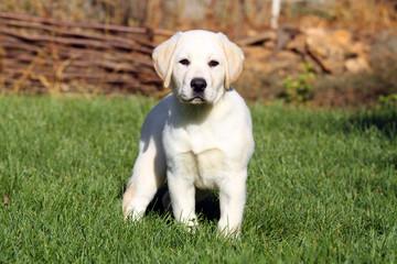 nice yellow labrador puppy in green grass