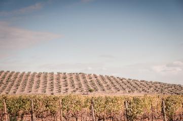Olivenhain und Weinreben