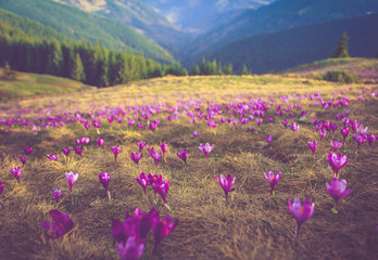 First spring flowers crocus as soon as snow descends on the background of mountains.