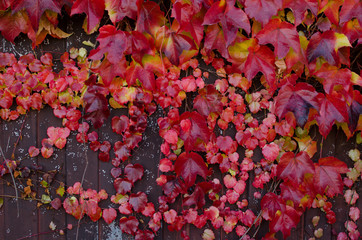 Climbing plant with red leaves in autumn on the wooden fence