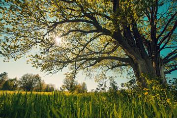 Big tree in a field