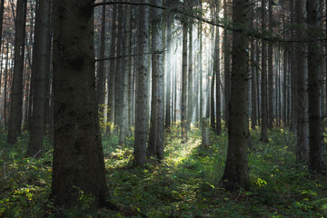 Sun rays through the trees int he forest