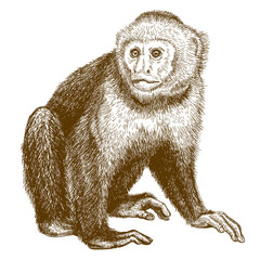 engraving antique illustration of capuchin