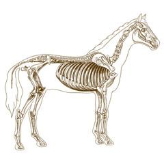 engraving  illustration of horse skeleton