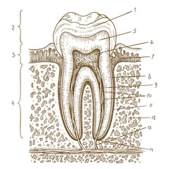 engraving  illustration of human tooth diagram