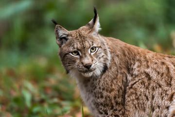 Aluminium Prints Lynx Luchs im Wald