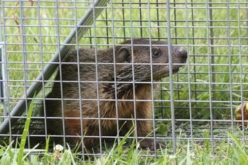 Fotoväggar - Groundhog (Marmota monax) in a trap