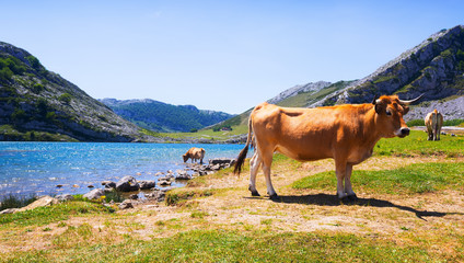 mountains landscape with lake and cows