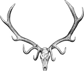 Vintage drawing stag horn