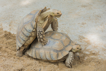 Two Sulcata Tortoises mating