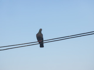 Lonely pigeon under blue sky