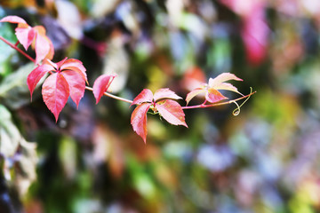 red ivy leaves