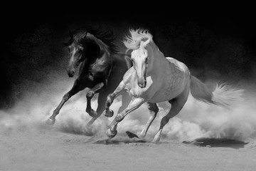 Two andalusian horse in desert dust against dark background