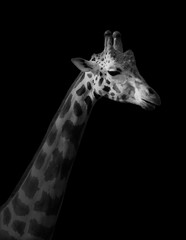 Giraffe on black background