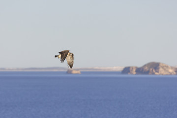 Fly'n High/Osprey Eagle patrolling the coast line around it's nest.
