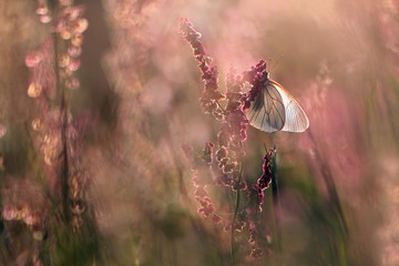 white butterfly Aporia crataegi on the pink plants