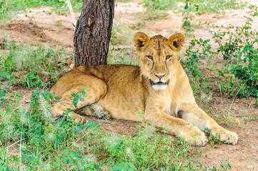 Resting lion in Tarangire Park, Tanzania