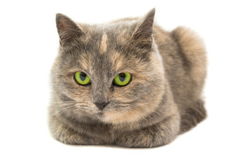 Close-up portrait of mixed breed cat isolated