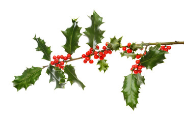 Holly bough with berries