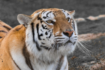 Close up portrait of a tiger