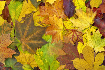 Beautiful colorful background with fallen leaves on the ground. Bright autumn colors. Image of natural materials. Eco style.