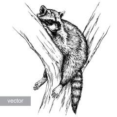 engrave raccoon illustration