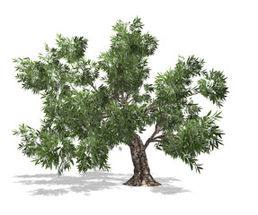 olive tree with white background