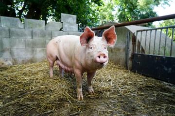 Outdoor-Schweinehaltung, alte Sau im Auslauf