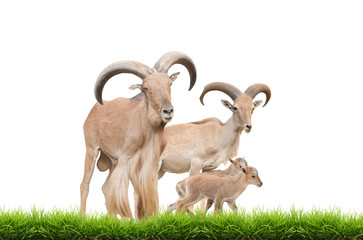 Wall Mural - barbary sheep family