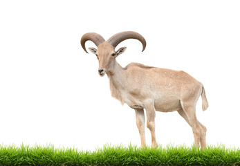Wall Mural - barbary sheep